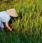 Indigenous variety paddy facing extinction in Khagrachari